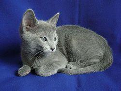 Kot Rosyjski Niebieski Wikipedia Wolna Encyklopedia
