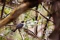Rusty blackbird (40431681893).jpg