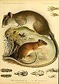 Säugethiere vom Celebes- und Philippinen-Archipel (Taf. VI) (5984634185).jpg