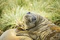 SGI-2016-South Georgia (Salisbury Plain)–Southern elephant seal (Mirounga leonina) 03.jpg