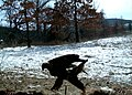 SK - Bald Eagle at the camera trap (5430888861).jpg