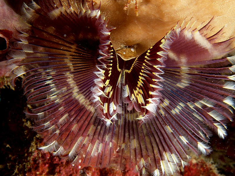 Sabellastarte indca (Feather duster worm)