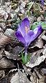 Saffron - Crocus vernus 34.jpg