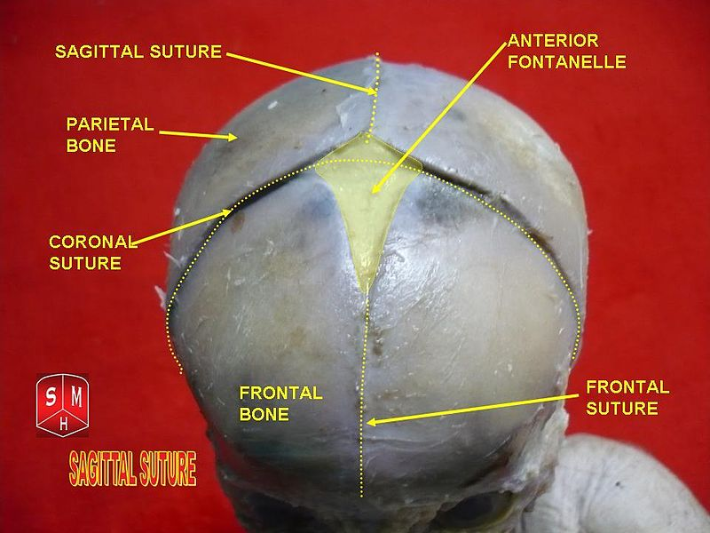 File:Sagittal suture.jpg
