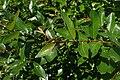 Salix myrsinifolia kz02.jpg