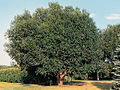 Salix pentandra(01).jpg