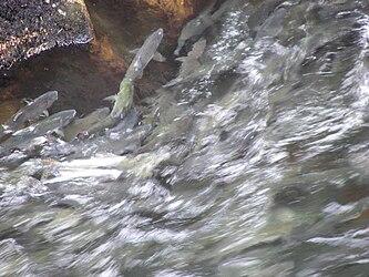 Salmon swimming upstream in Ketchikan Creek 2.jpg
