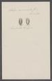 Salpa mucronata - - Print - Iconographia Zoologica - Special Collections University of Amsterdam - UBAINV0274 092 08 0010.tif