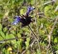 Salviacolumbariae.jpg