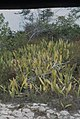 Sanseveria, Mother-in-Laws tongues. Inagua (24005624017).jpg