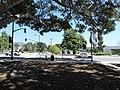 Santa Paula, CA, Memorial Ficus, 2012 - panoramio.jpg