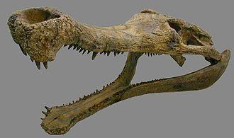Sarcosuchus - Reconstructed S. imperator skull
