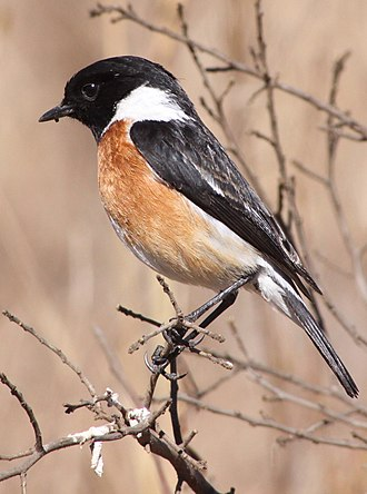 African stonechat - Adult male in South Africa
