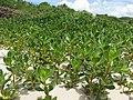 Scaevola plumieri - vegetation (8624222587).jpg