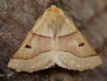Scalloped oak (43251946411).png