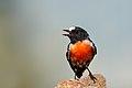Scarlet Robin (Petroica boodang) (40396810621).jpg