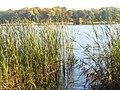 Schilf beim Straussee (Reeds by the Straussee) - geo.hlipp.de - 29684.jpg
