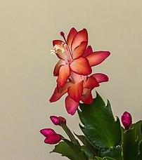 Fleur et boutons de Schlumbergera. (définition réelle 3058×3456)