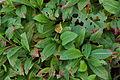 Schneckenknöterich-Polygonum affine-Blatt a.jpg