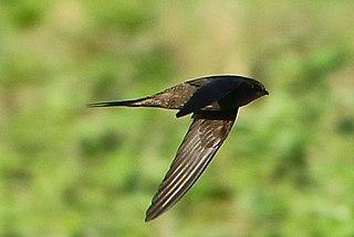 Scarce swift Species of bird