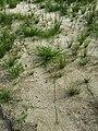 Scirpus radicans sl26.jpg
