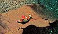 Sea Slug (Nembrotha chamberlaini) (8457288193).jpg