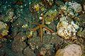 Sea star (26634112932).jpg