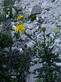 Senecio adenotrichius and rocks.jpg