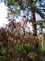 Sequoia sempervirens-Jardin des plantes 03.JPG