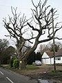 Severely pollarded tree in Sinah Lane - geograph.org.uk - 742613.jpg