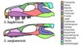 Seymouria skull diagrams.png