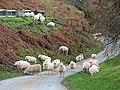 Sheep at Pont y Geufron - geograph.org.uk - 288694.jpg