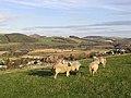 Sheep on Quarry Hill - geograph.org.uk - 609010.jpg