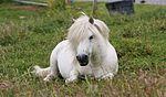 Shetland Pony IMG 6373 (14707197782).jpg