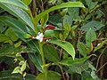 Short-tailed Green Magpie (13890559935).jpg