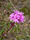 Alpine catchfly