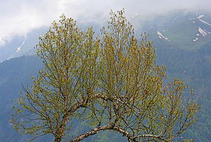 Betula utilis - Image: Silver Birch (Bhojpatra) I IMG 3405