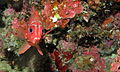 Silverspot Squirrelfish (Sargocentron caudimaculatum) (8481700732).jpg