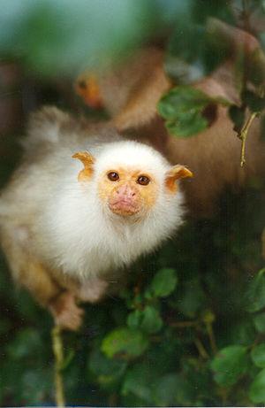 Mico (genus) - Silvery marmoset (Mico argentatus)