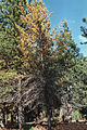 Sirex noctilio damage on Pinus.jpg