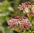 Skipper Feeding on Swamp Milkweed.jpg