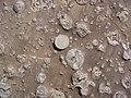 Skolithos - Armorican Quartzite, Ordovician. Berrueco, Saragossa, Spain 003.JPG