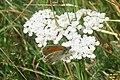 Small heath (Bač) (26207349459).jpg