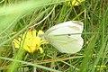 Small white nectaring (NH) (15801812338).jpg