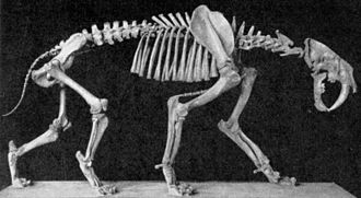 Machairodontinae - Articulated skeleton of Smilodon