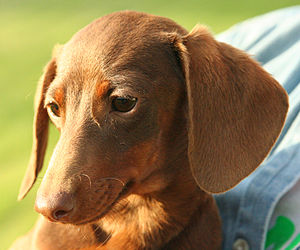 A smooth-coated red & tan Dachshund.