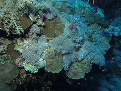 Soft and hard corals (6163722440).jpg