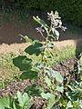 Solanum americanum-Jardin botanique de Kandy (3).jpg