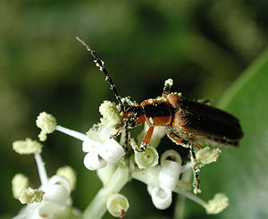 Entomophily - Soldier beetle covered with pollen