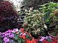 Solenostemon scutellarioides cultivars public domain IMG 4801.jpg